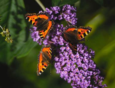 Bring on the Buddleia! Bring in the Butterflies! Create a Buzz!